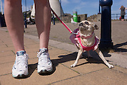 A pet Chihuahua dog looks up to its owner whilest walking along the promenade of Ilfracombe on the north Devon coast.