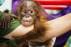 A critically endangered Sumatran orangutan infant (Pongo abelii) who was rescued from illegal pet traders after his mother was killed, is now safe in the arms of its keeper at the Sumatran Orangutan Conservation Program's Care Center in Medan, where he needs to live until he is old enough to be released safely back into the wild, Medan, Sumatra, Indonesia