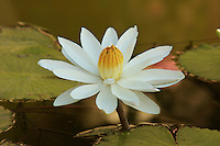Close-up of a white water lily ( Nymphaea).