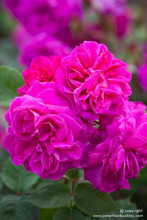 Rosa 'Sir Joseph Paxton'. Rose