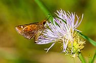Zabulon Skipper - Hodges#4060 (Poanes zabulon)<br /> United States: Alabama: Tuscaloosa Co.<br /> Tulip Tree Springs off Echola Rd.; Elrod<br /> 2-Jul-2017<br /> J.C. Abbott #2964