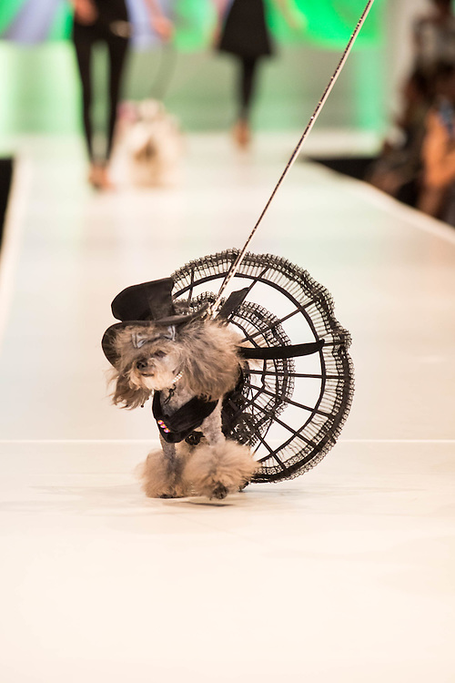 "The annual dog fashion show, ""Le Chien"" with designs by Lola Teigland,  takes place during Fashion Week El Paseo in Palm Desert, California. Photos by Tiffany L. Clark"
