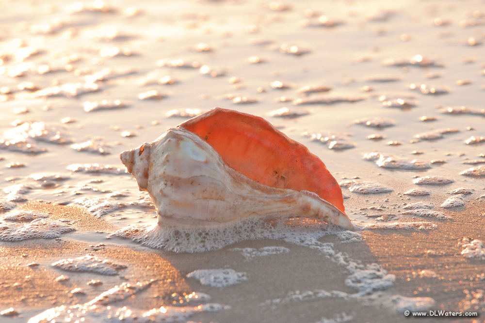 Whelk shell  In the surf on Kitty Hawk beach.