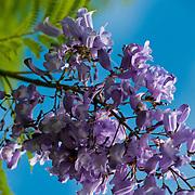 Blue Jacaranda,.Jacaranda acutifolia, Barclay Memorial Park, Tainan City, Taiwan