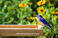 01377-04812 Eastern Bluebird (Sialia sialis) male at mealworm feeder, Marion Co.   IL