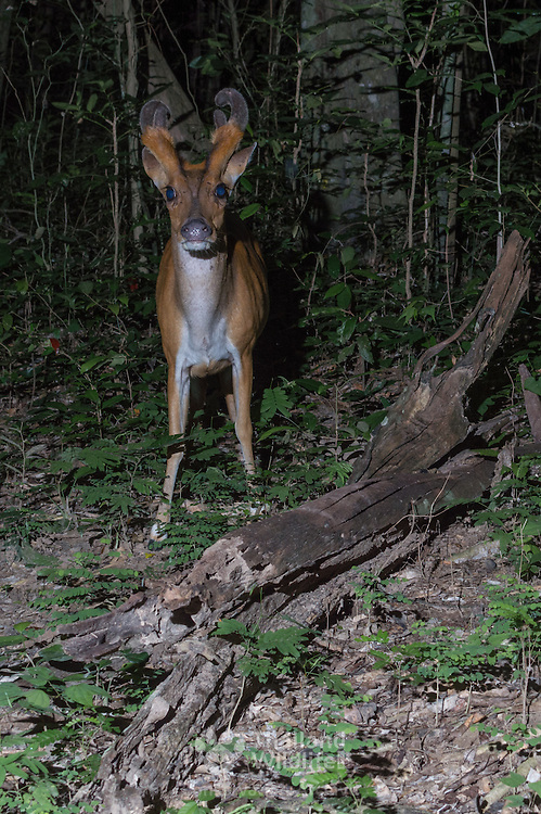The Red muntjac (Muntiacus muntjak), also called the Indian muntjac,common muntjac or barking deer, in Kaeng Krachan National Park, Thailand.