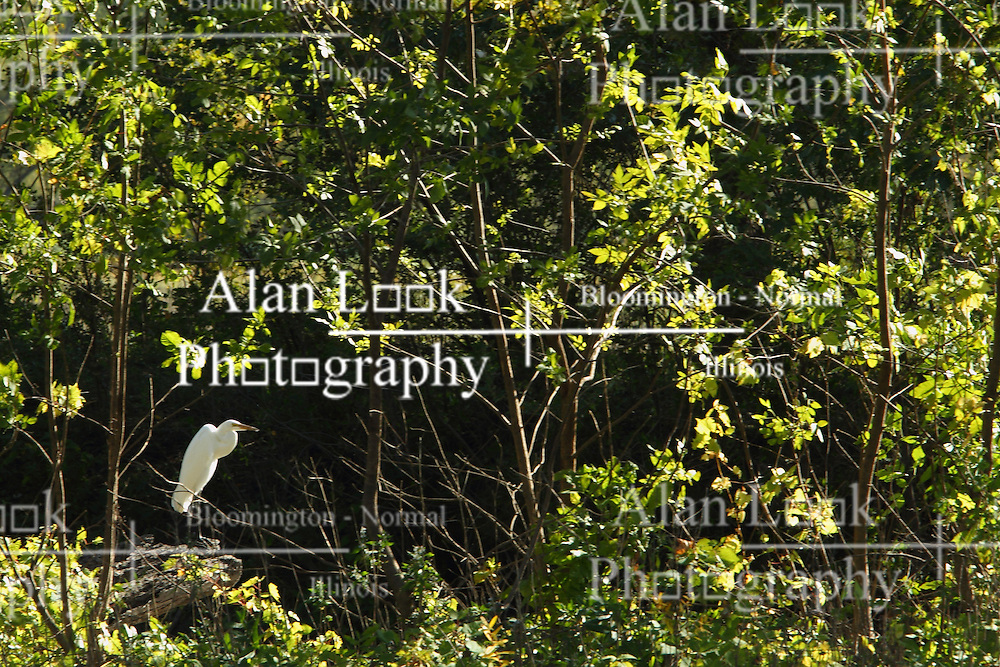 09 October 2015:  (Ardea alba) Great White Egret - The great egret, also known as the common egret, large egret or great white heron, is a large, widely distributed egret. Scenics from along the Illinois River Scenic Road and sites along the drive.  All images were between Ottawa and East Peoria.