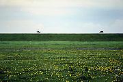 Nederland, Friesland, 20-5-2002Koeien grazen op de dijk. Gras, weiland.Foto: Flip Franssen/Hollandse Hoogte