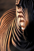 A hartmann's mountain zebra (Equus zebra hartmannae) close-up portrait.