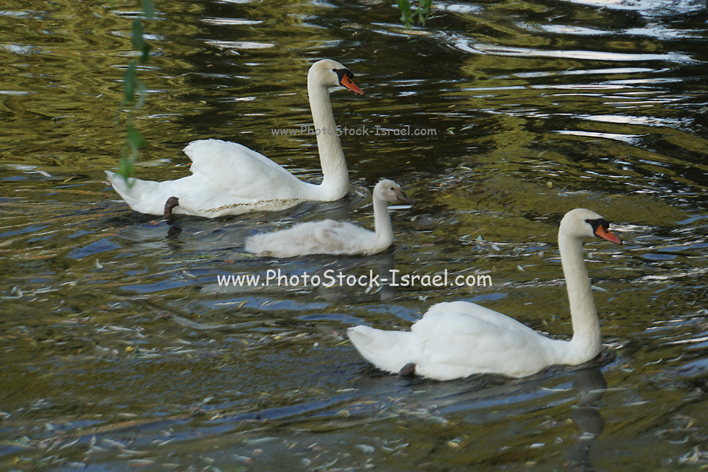 Mother swan with chicks in a lake