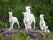 Dall Sheep (Orvis dalli) ewe and lambs moving among the rocks in summer in the mountains along Turnagain Arm, Chugach State Park.