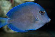 Blue Tang, Acanthurus coeruleus.