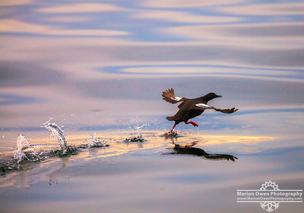Pigeon Guillemot takes off