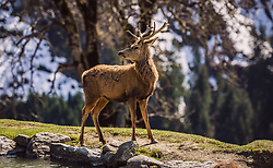THEMENBILD - ein Rotwild Hirsch am Ufer eines Teiches, aufgenommen am 07. März 2019 in Aurach, Oesterreich // a deer deer on the shore of a pond, Austria on 2019/03/07. EXPA Pictures © 2019, PhotoCredit: EXPA/Stefanie Oberhauser