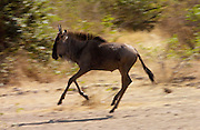 Juvenile migrating Blue Wildebeest running, Grumeti, Tanzania