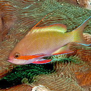Threadfin Anthias inhabit reefs. Picture taken Lembeh Straits, Sulawesi, Indonesia.