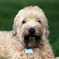 Soft Coated Wheaten Terrier closeup