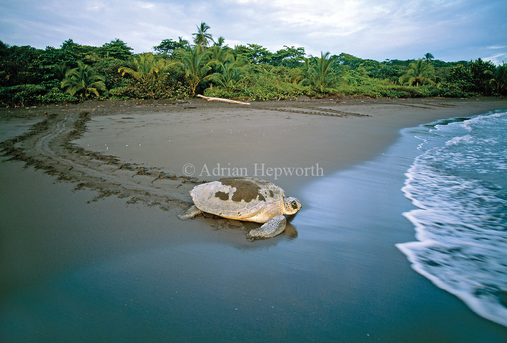 Green turtle (Chelonia mydas) returning to ocean after laying eggs in nest. Tortuguero National Park, Costa Rica.
