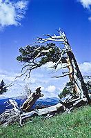 Bristlecone Pine (Pinus aristata)  Most of this tree is dead except for the branch on the left.  The Bristlecone pines in Colorado are between 1500-2000 years old.  Windy Ridge, Colorado.