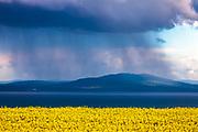 Rapeseed field around the sea coast between Sarafovo and Burgas