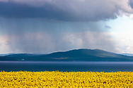 Rapeseed field around the sea coast between Sarafovo and Burgas