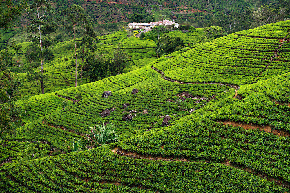 Tea Plantations, Nuwara Eliya, or Little England, Sri Lanka
