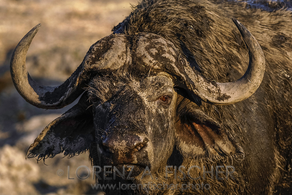 Afrikanischer Büffel an der Riverfront im Chobe Nationalpark in Botswana.