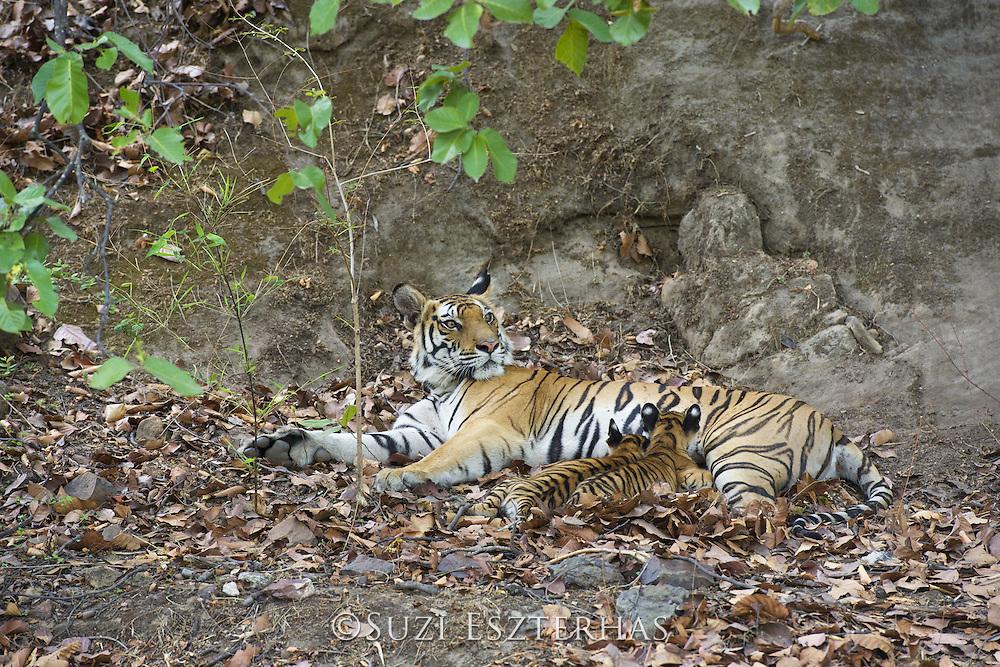 Bengal Tiger<br /> Panthera tigris <br /> Eight week old cubs suckling at den <br /> Bandhavgarh National Park, India