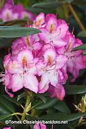 Rhododendron `Campanile`