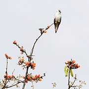 Black-winged Kite (Elanus caeruleus) sitting at the very to of a Hadua tree in Kanha National Park, India.