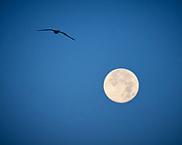 Northern Gannet and the Moon at Dawn. Image taken with a Nikon D800 camera and 70-300 mm VR lens (ISO 560, 250 mm, f/5.6, 1/500 sec).