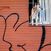 A dog looks out of a residential window in downton Buenos Aires.