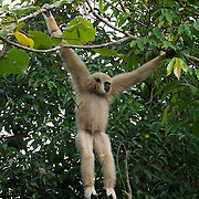 The lar gibbon (Hylobates lar), also known as the white-handed gibbon, is a primate in the Hylobatidae or gibbon family.