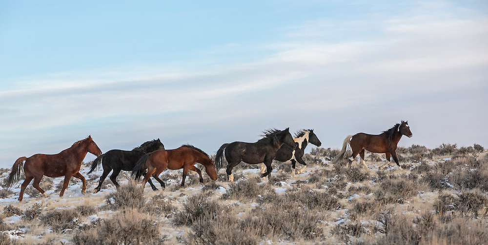 A herd of wild horses, with the band stallion, Red Rocker, bringing up the rear, make their way through the sage-covered prairie on a cold winter morning.