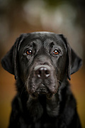 America's VetDogs Charlie<br /> <br /> (Photo by Stacy L. Pearsall)