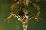 male Smooth newt, Common newt (Lissotriton vulgaris, formerly Triturus vulgaris) | Nach dem Atmen an der Wasseroberfläche orientiert sich dieses Teichmolch-Männchen (Triturus vulgaris) wieder abwärts, um kurz darauf mit kräftigen SChwanzschlägen hinab zu tauchen.