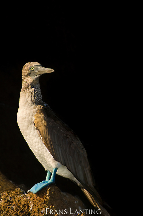 Blue-footed booby, Sula nebouxii, Bartholome Island, Galapagos Islands
