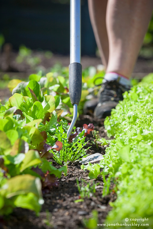 Weeding between lines of salad leaves in a vegetable patch with a hoe