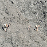 Family of bighorn sheep walk along rock face near the North Entrance to Yellowstone National Park, Wyoming.