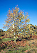 Silver birch tree on Sandlings heathland, Shottisham, Suffolk, England