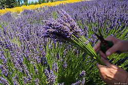 United States, Washington, Sequim, u-pick farm at annual Lavender Festival