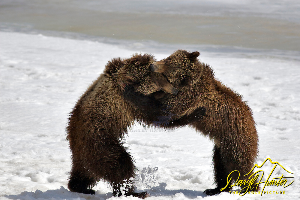 Grizzly Bear cubs appear to be dancing while they wrestle in Grand Teton Natonal Park. Thest two year old cubs would forage for a while then wrestle for a while. These cubs are of famous grizzly bear sow #399