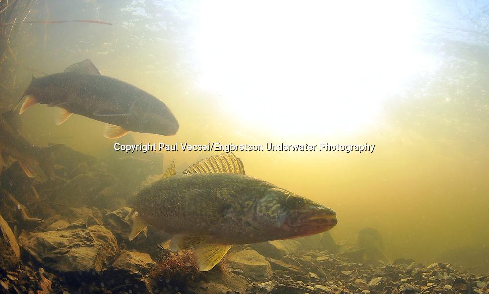 Walleye<br /> <br /> Paul Vecsei/Engbretson Underwater Photography