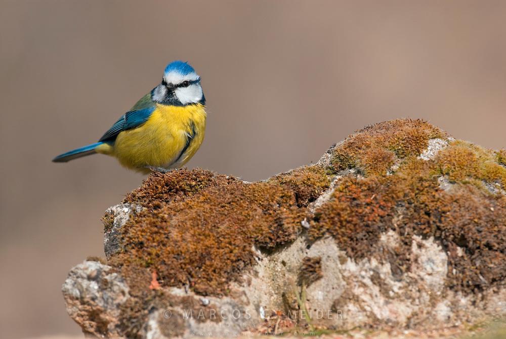 EN. Blue tit (Parus caeruleus) perched on mossy rock. Spain.<br /> ES. Herrerillo com&uacute;n (Parus caeruleus) sobre musgo en roca. Espa&ntilde;a