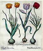 Hand painted copperplate print of various tulips from Hortus Eystettensis a codex produced by Basilius Besler in 1613 of the garden of the bishop of Eichstatt in Bavaria.