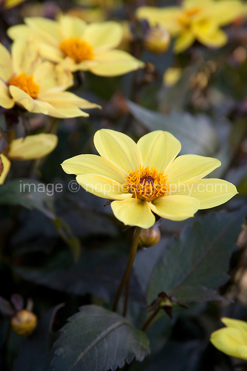 Yellow Dahlia flowers, party variety, growing in an Irish garden