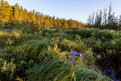 """A blue flag iris, Iris versicolor, in the Cold Stream """"deadwater"""" above Upper Cold Stream Falls in Maine's Northern Forest. Johnson Mountain Township."""
