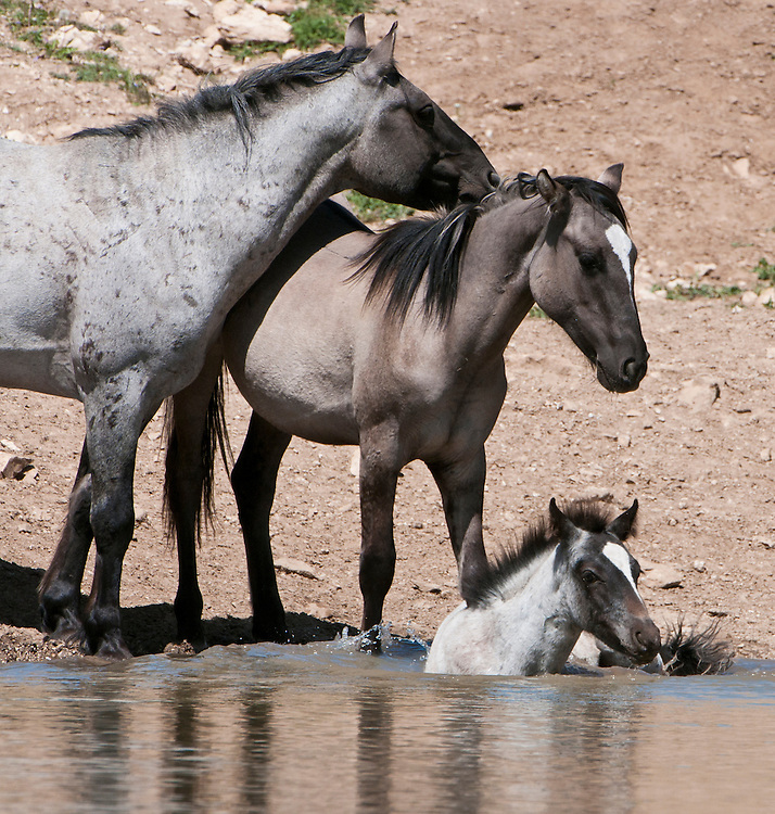 Wild Horses cooling off in a pond, Pryor Mountain, Montana