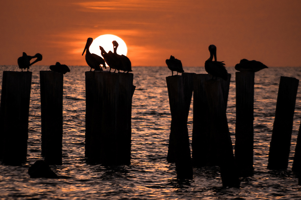 Silhouette of pelican's on the pylons of the old Naples pier in Florida against the setting sun.