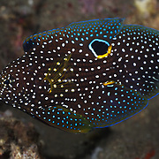 This is a comet (Calloplesiops altivelis), an elegant, cryptic fish that possesses a false eye on its dorsal fin, probably to mislead predators. When alarmed, comets poke their heads into a hole or crevice and expose their tail ends in order to discourage potential predators by mimicking the head of the moray eel.